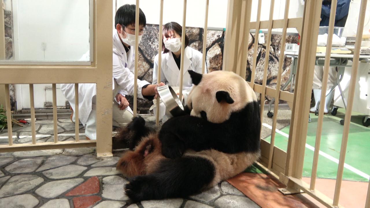 お母さんパンダから赤ちゃんを取り上げようとしている