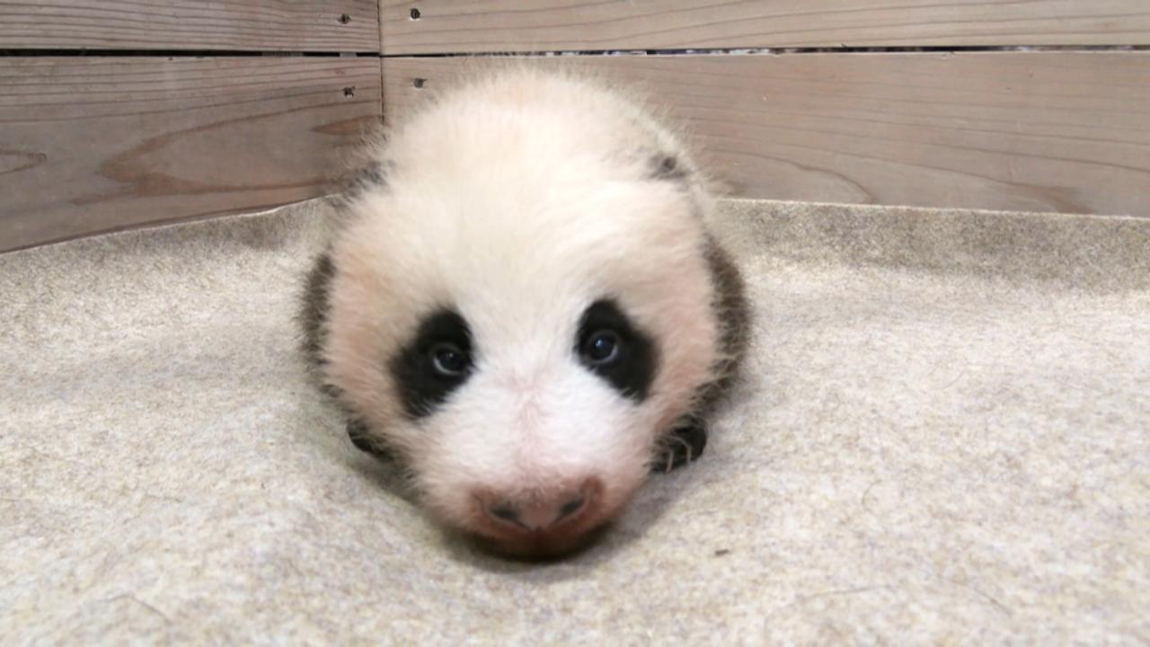 生後2か月の赤ちゃんパンダ